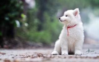 白色可爱的小狗电脑桌面壁纸高